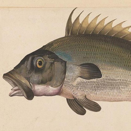 ligozzi fish
