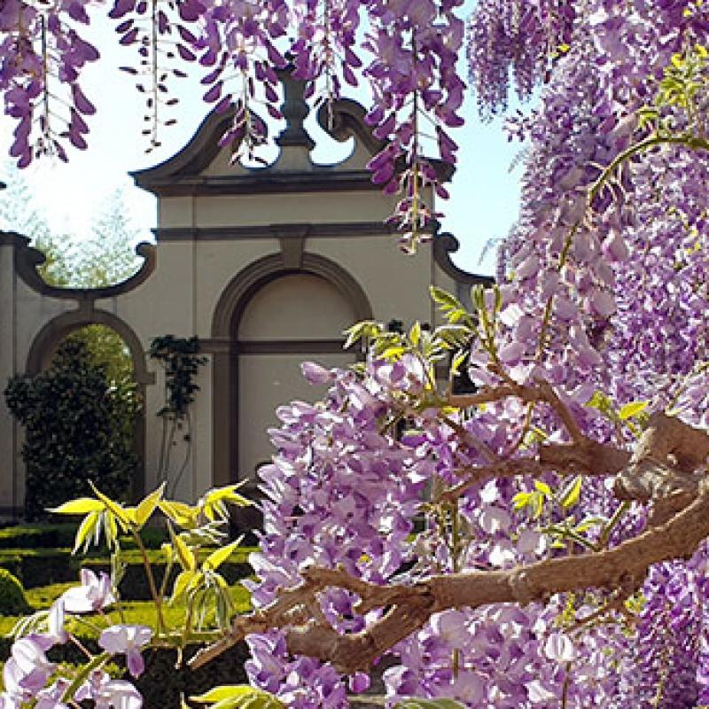 Spring wisteria at I Tatti, April 2021